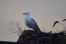 Seagull - Rooftop